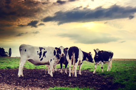 Herd of cows at summer sunset