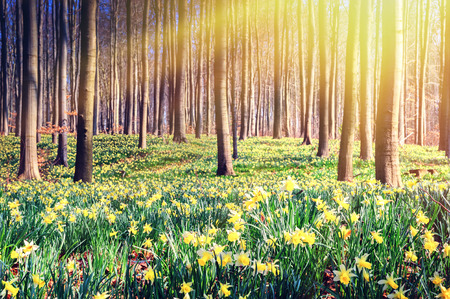 黄色の水仙で覆われた春の森。景色の風景