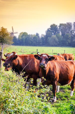 Herd of brown cows at summer green field photo