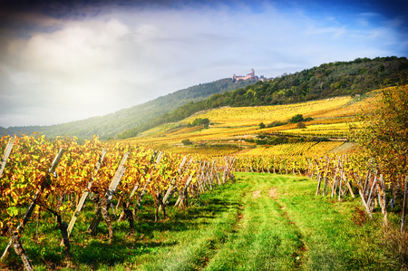 ワインの秋のブドウ畑のある風景します。フランス、アルザス