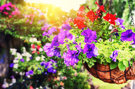 Closeup of colorful petunias in hanging flowerpot