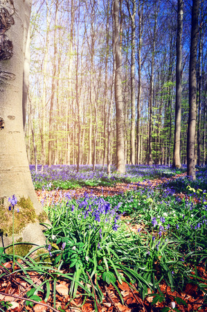 bluebells: Landscape with beautiful bluebells in spring forest Stock Photo
