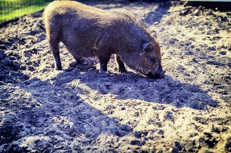 porker: Small pig digging the ground. Farm concept