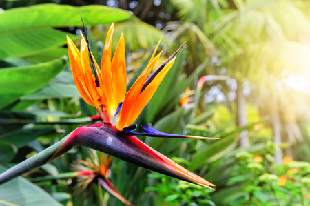 aves: Strelitzia reginae primer de la flor (flor de ave del para�so). La isla de Madeira Foto de archivo