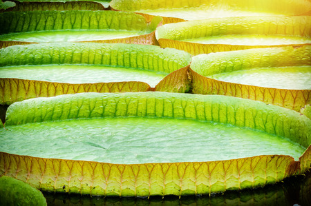 lillies: Closeup of giant water lillies. Victoria amazonica