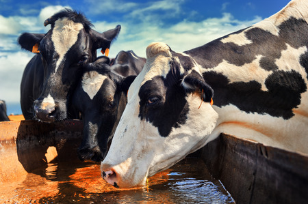 calves: Herd of cows drinking water. Agricultural concept