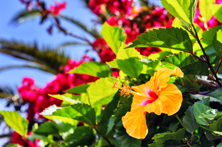 Blooming hibiscus flowers in spring time. Funchal, Madeira island