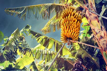 platano maduro: Manojo de plátanos maduros en árbol. Plantación agrícola en la isla de Madeira
