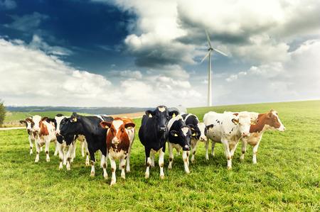 Agrarisch landschap met kudde koeien kijken naar de camera Stockfoto