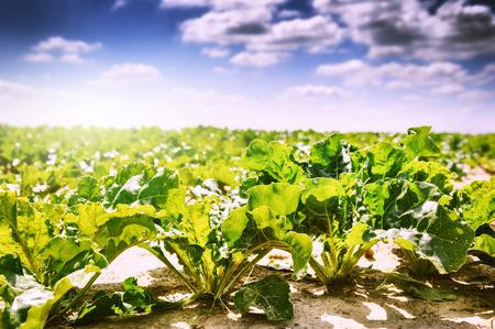 remolacha: Paisaje de verano. Campo agrícola con el cultivo de remolacha azucarera