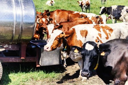 water spring: Herd of cows drinking water. Agricultural concept