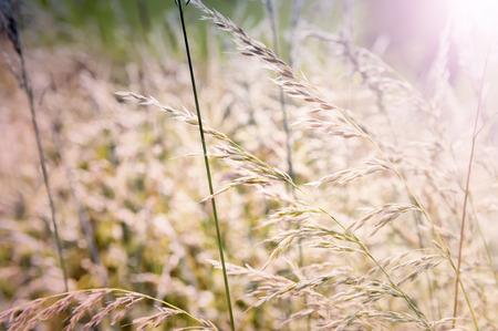 野草: 野生の草で、自然の背景