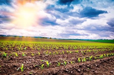 champ de mais: domaine agricole avec des germes de maïs au coucher du soleil d'été