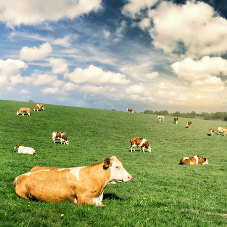 raising: Herd of cows at summer green field. Agricultural concept