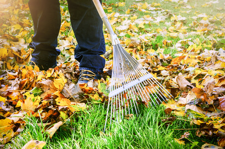 Gardener raking fall leaves in garden. Nature background