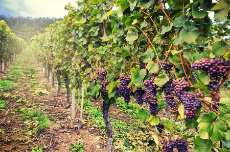 Landscape with autumn vineyards and organic grape on vine branches Imagens