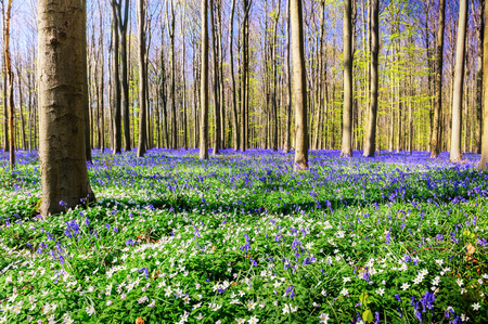 Spring forest covered with bluebells and anemones flowers. Nature background
