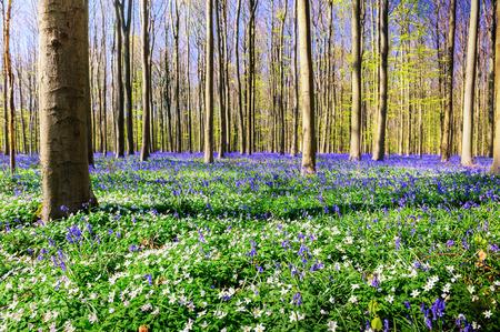 Voorjaar bos bedekt met boshyacinten en anemonen bloemen. Natuur achtergrond