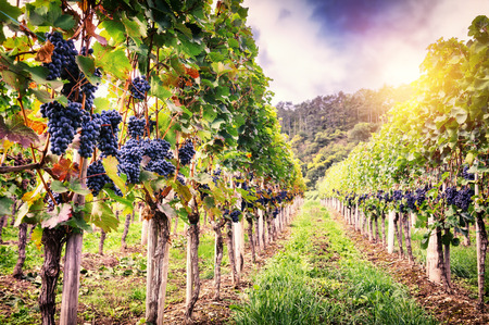bunch of grapes: Landscape with autumn vineyards and organic grape on vine branches Stock Photo