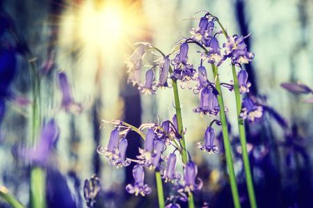 bluebells: Beautiful bluebells in spring forest. Nature background