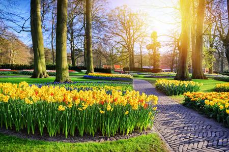 Paesaggio primaverile con parco vicolo e narcisi gialli a soleggiata giornata primaverile