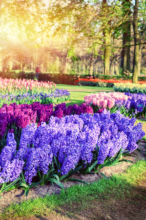 landscape nature: Spring landscape with beautiful hyacinths. Nature background Stock Photo