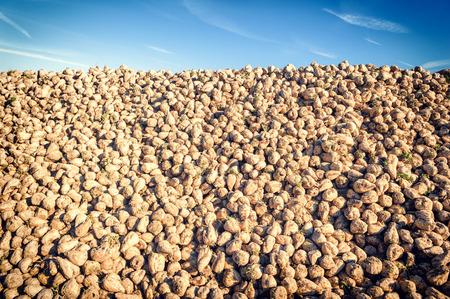 Haufen von geernteten Zuckerrüben auf landwirtschaftlichen Bereich