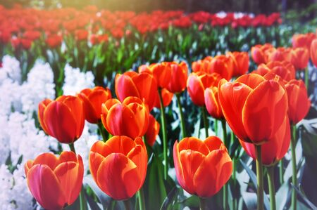 holland: Spring park with blossoming red tulips. Nature background