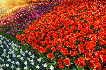 Flower bed with multicolor tulips. Nature background