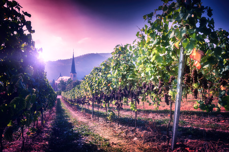wineries: Landscape with autumn vineyards and small town church. Wine making concept