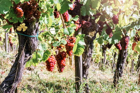 grape vines: Landscape with autumn vineyards and organic grape on vine branches. Wine making concept Stock Photo