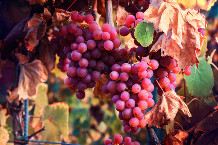 Autumn vineyards and organic grape on vine branches. Wine making concept Stock Photo