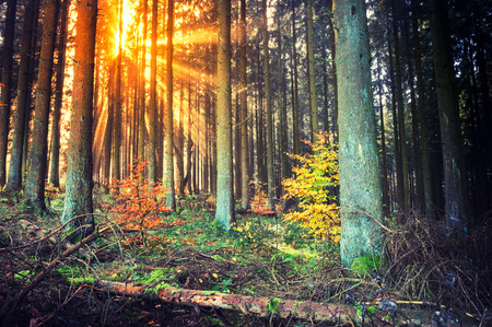 evergreen: Autumn landscape with sunset in forest. Seasonal nature background