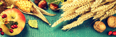 grunge backgrounds: Autumn still life with corn, apple and fall wheat over blue wooden background. Fall banner with copy space Stock Photo