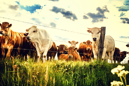 Herd of young calves looking at camera on summer green field. Agricultural background Standard-Bild