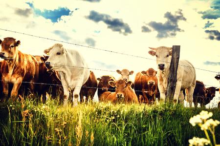 Kudde jonge kalveren kijken naar camera op zomer groen veld. Landbouwachtergrond