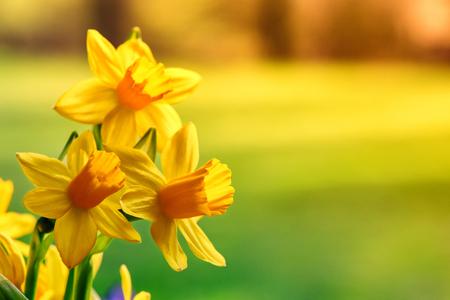 Lente bloemen. Gele gele narcissenclose-up met copyspace Stockfoto