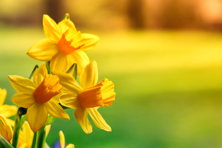 Spring flowers. Yellow daffodils closeup with copyspace Stock Photo