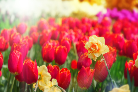 Blooming red tulips and yellow daffodils at sunny spring day