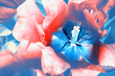 Colpo a macroistruzione del tulipano rosso di fioritura nello stile dell'annata. Sfondo di natura elegante Archivio Fotografico - 93853318