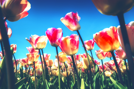 Spring landscape with beautiful yellow and pink tulips. Nature and flowers background