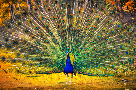 Blue peacock showing its feathers. Beautiful bird background Stock Photo