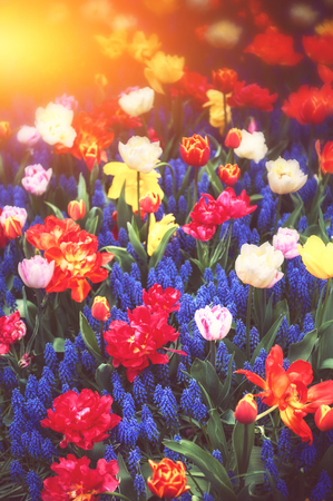 Spring landscape with beautiful blue muscari and multicolor tulips. Spring flowers