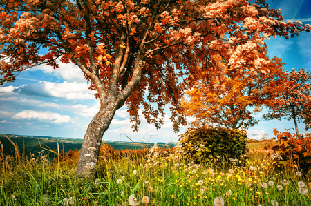 Summer landscape with big whitebeam tree. Country nature background Stock Photo