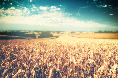 Golden wheat field at sunny summer day. Nature background Stock Photo