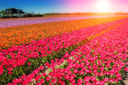 Spring field with blossoming multicolor tulips. Nature background Stock Photo