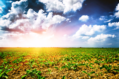 Agricultural field with green sugar beet  sprouts. Nature background Stok Fotoğraf