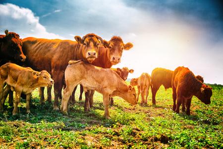 Nette kleine Kälber, die mit Kühen weiden lassen. Landwirtschaftlicher Hintergrund Standard-Bild