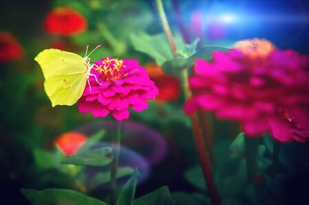 Beautiful yellow butterfly sitting on pink zinnia flower, closeup. Nature background Stock Photo