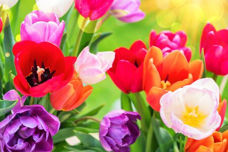 Bouquet of beautiful multicolor tulips. Nature background